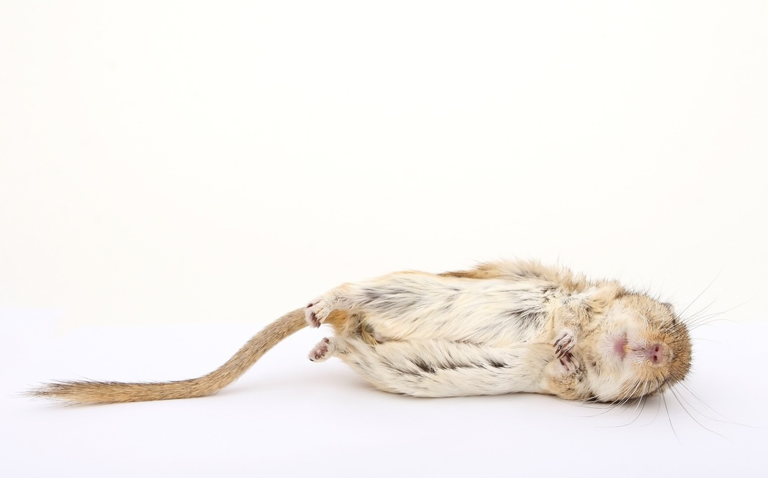 Picture of a dead mouse